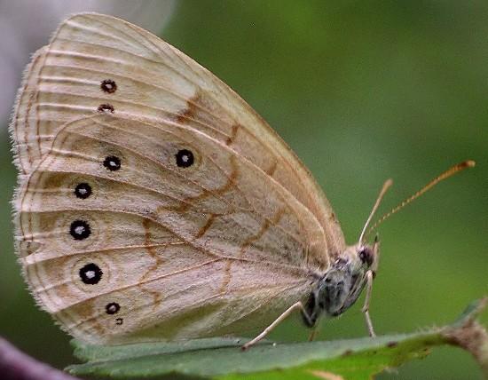 eyed brown - Lethe eurydice