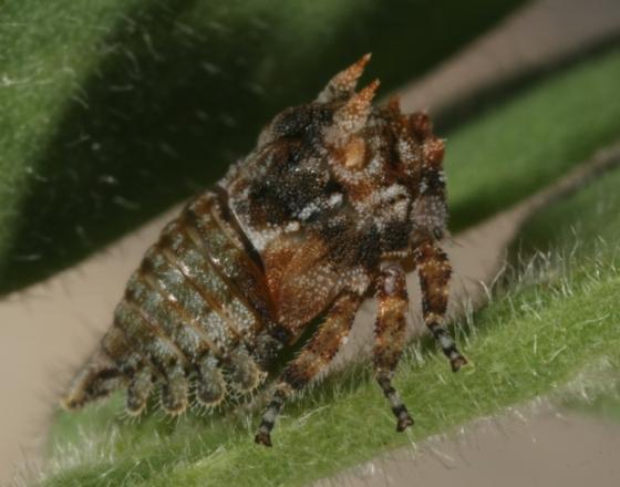 hopper 76 - Tylocentrus quadricornis