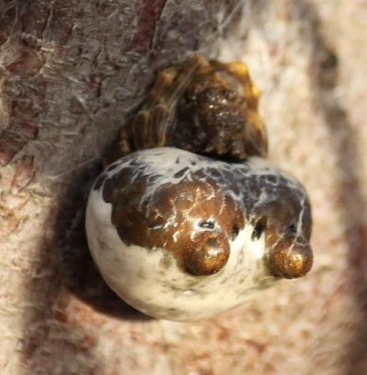 Crab Spider?? - Mastophora cornigera