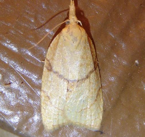 Tortricid June 15 - Cenopis mesospila