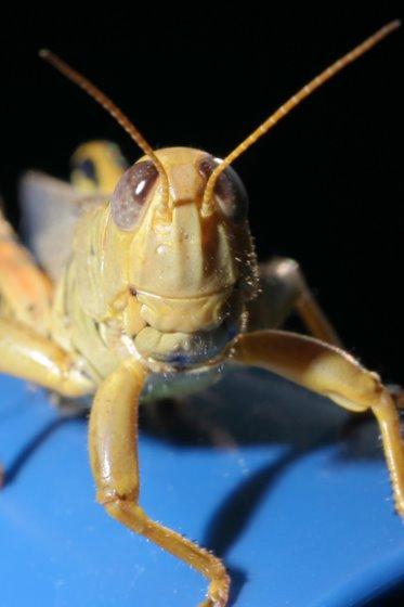 Melanoplus differentialis - male