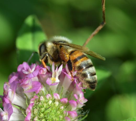 bee on a clover - Apis mellifera