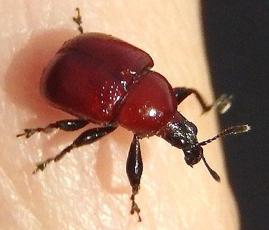 red weevil - Homoeolabus analis - female