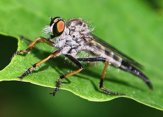 Robber Fly - Neoitamus flavofemoratus - female