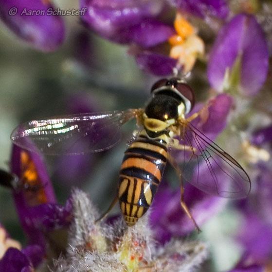 Allograpta series from north of Death Valley - Allograpta obliqua - female