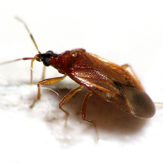 Plant Bug - Amphiareus obscuriceps