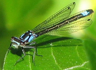 Exclamation Damselfly - Zoniagrion exclamationis - female