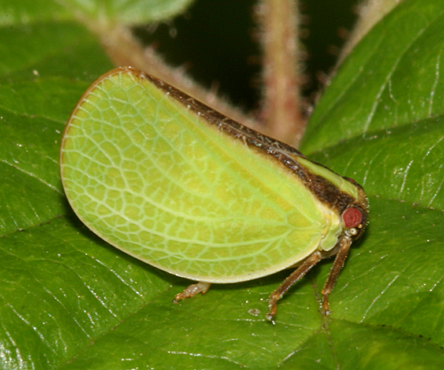 Planthopper - Acanalonia bivittata