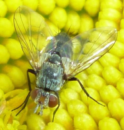 Tachinidae? - Clausicella opaca