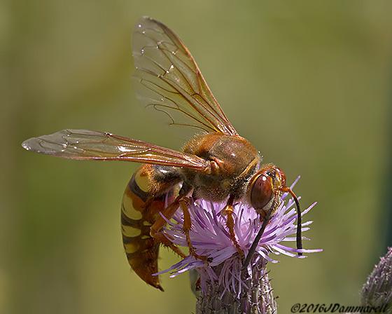 Cicada Killer? - Sphecius grandis