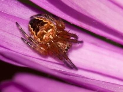 Orb Weaver Spider - Araneus diadematus