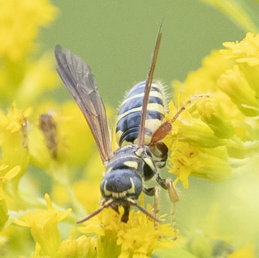 Wasp? Hornet?   - Myzinum