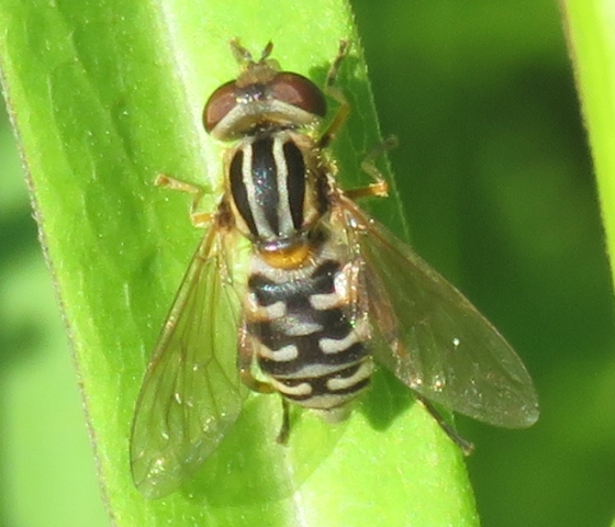 Fly - Lejops lineatus