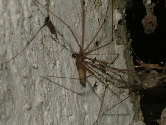 Long-bodied Cellar Spider? - Pholcus phalangioides - male