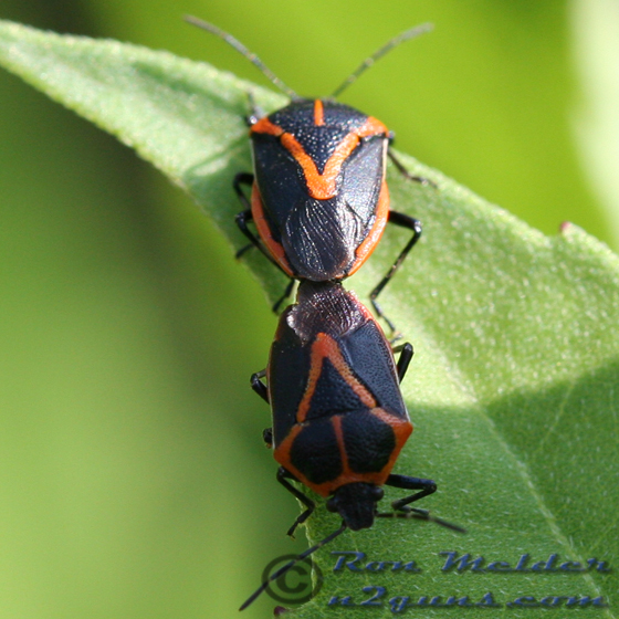 Stink Bug - Perillus strigipes - male - female