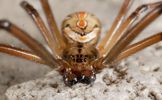 Latrodectus hesperis, Western Black Widow - Latrodectus hesperus - male