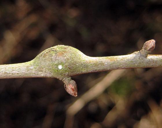 Callirhytis quercussimilis - Zapatella quercusphellos
