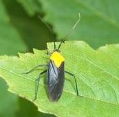 Orange-shouldered black bug - Prepops insitivus