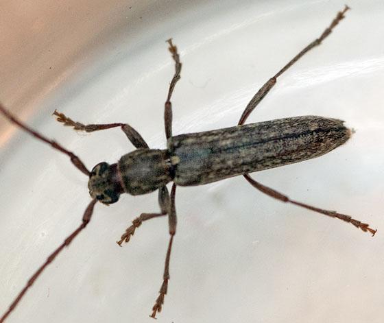 longhorn beetle - Anelaphus parallelus