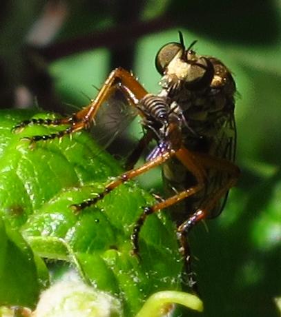 Callinicus pictitarsis?? - Callinicus pictitarsis