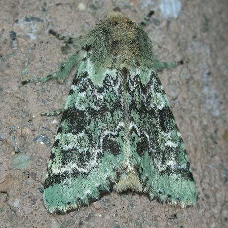 Green/black moth - Feralia major