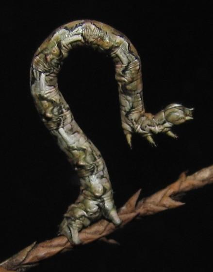 Juniper-twig Geometer caterpillar - Patalene olyzonaria