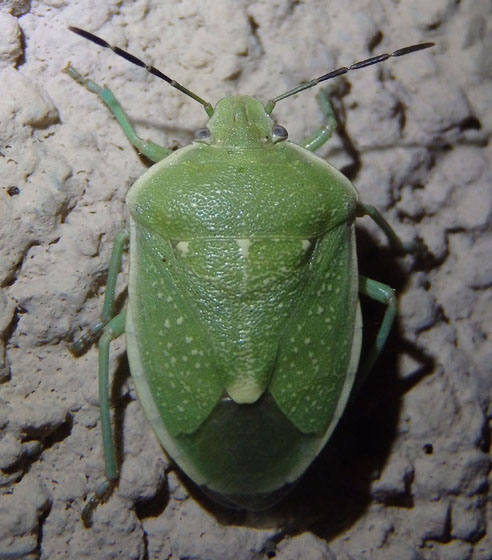 Chlorochroa stink bug - Chlorochroa uhleri