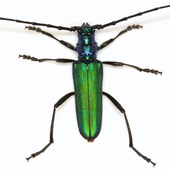 Plinthocoelium schwarzi (Fisher) - Plinthocoelium schwarzi