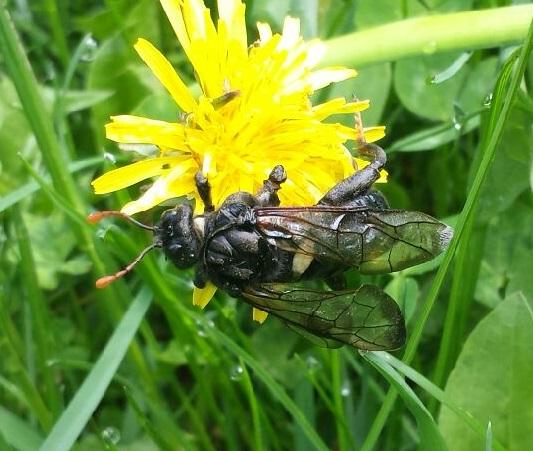 Bee/Wasp Nelson BC - Cimbex americanus