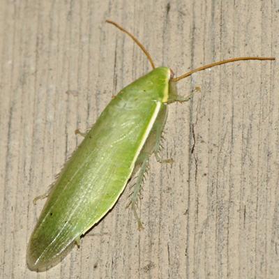 Green Banana Cockroach - Panchlora nivea
