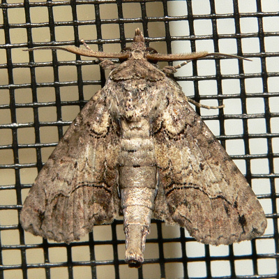 Large Paectes Moth - Paectes abrostoloides