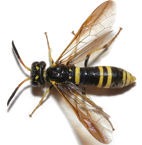 Black and yellow sawfly - Allantus viennensis