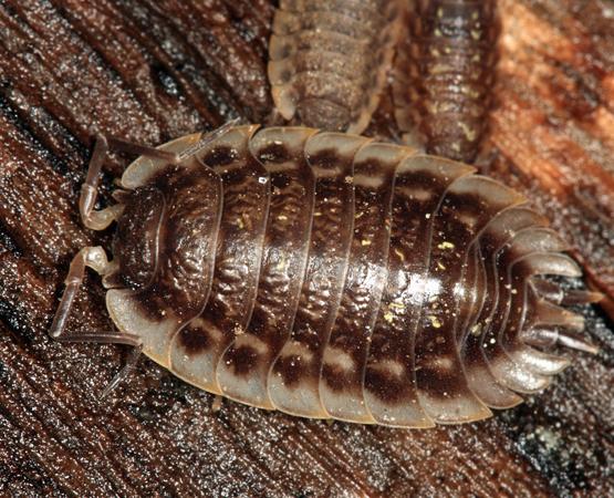 European Sowbug - Oniscus asellus