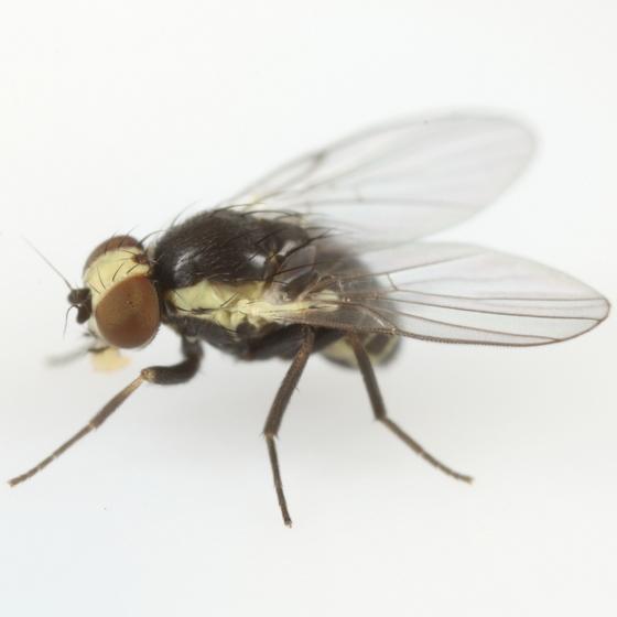 Calycomyza vogelmanni - male