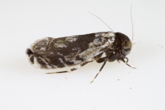 Lithoseopsis hellmani  (Mockford & Gurney) - Lithoseopsis hellmani - female