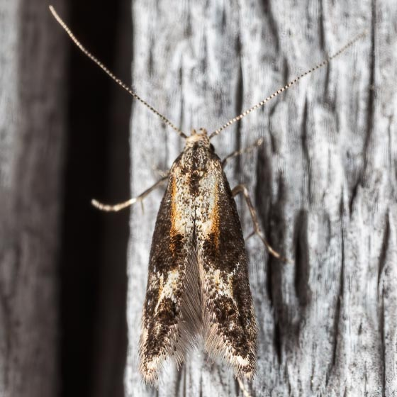 Apple Pith Moth - Blastodacna atra