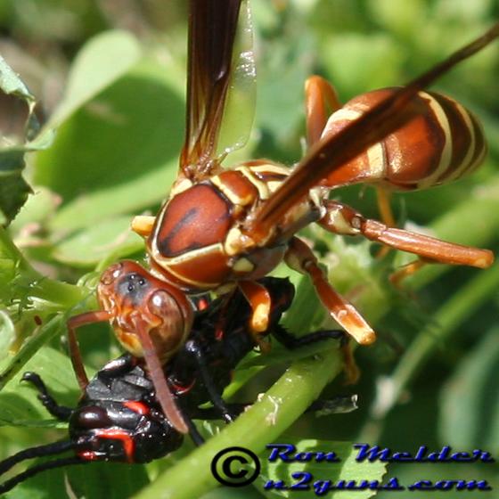 Paper Wasp - Polistes bellicosus
