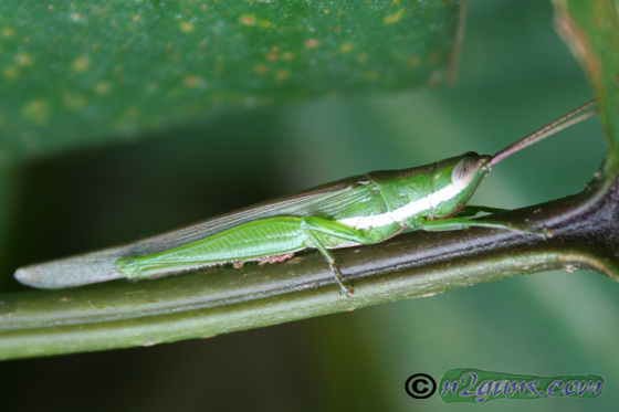 Glassy-winged Toothpick Grasshopper - Stenacris vitreipennis