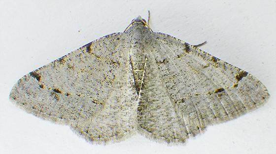 Moth - Dorsal view - Digrammia delectata
