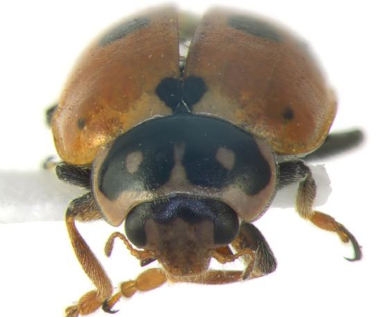 Coccinellidae, head & pronotum - Hippodamia variegata