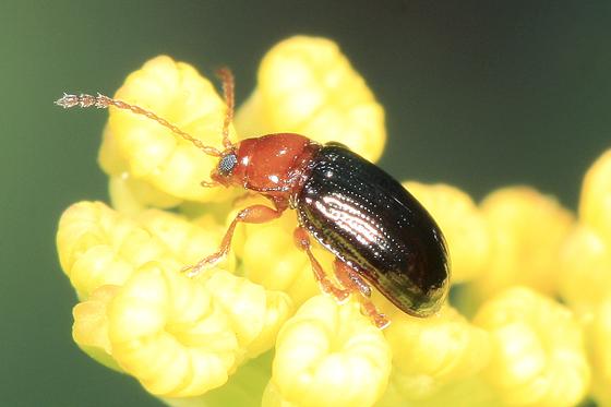 Leaf Beetle - Derocrepis
