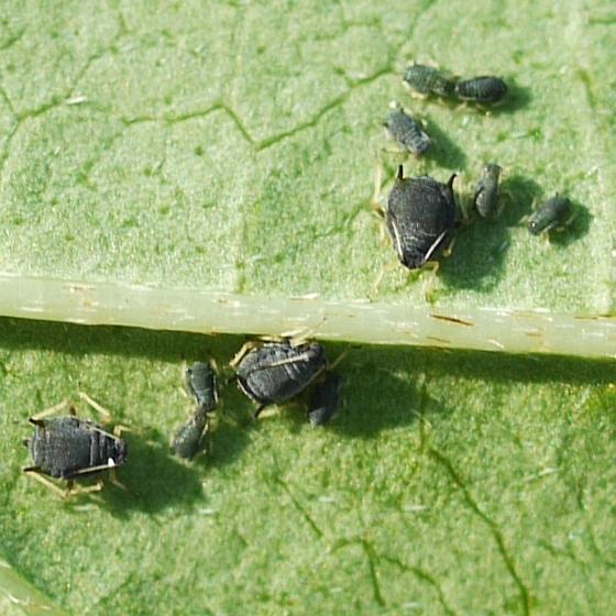 aphids on back of Honeysuckle leaf