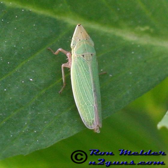 Sharpshooter - Draeculacephala balli