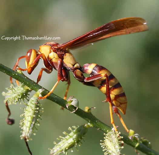 Wasp - Polistes major - female