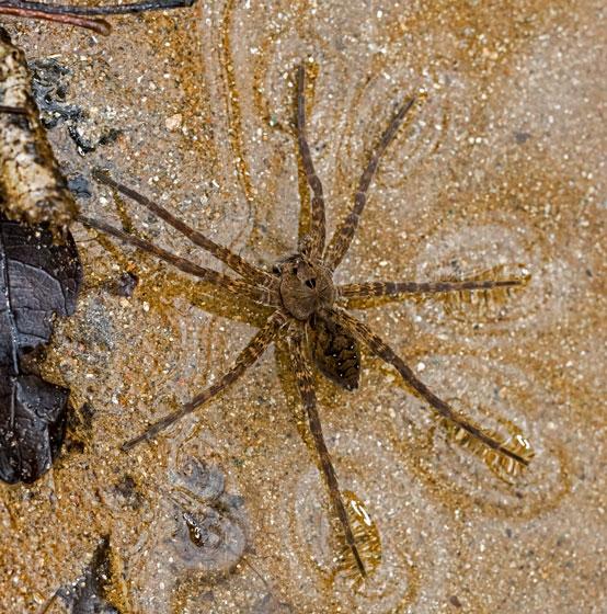 SpiderFishing_01022021_GH_3430 - Dolomedes vittatus
