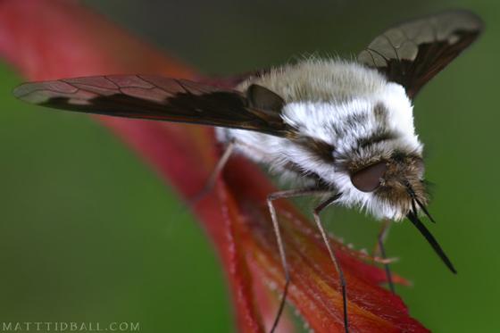 Bee Fly - Bombylius - British Columbia - Bombylius anthophilus