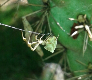 Interesting spider - Uloborus glomosus - female