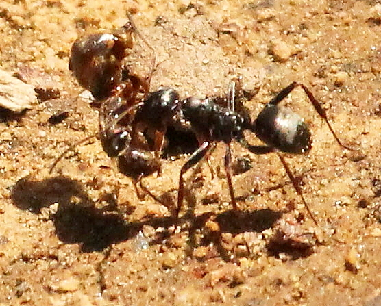 Ant carrying another ant - Formica subsericea