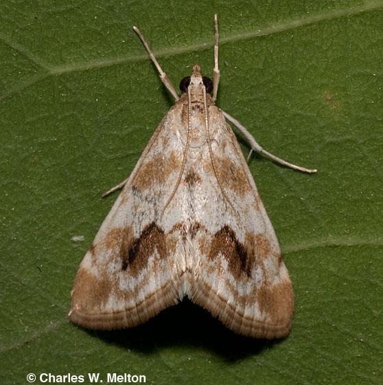 Moth - Evergestis lunulalis