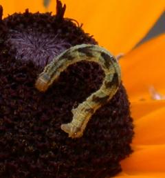 black-eyed susan inchworm - Eupithecia miserulata